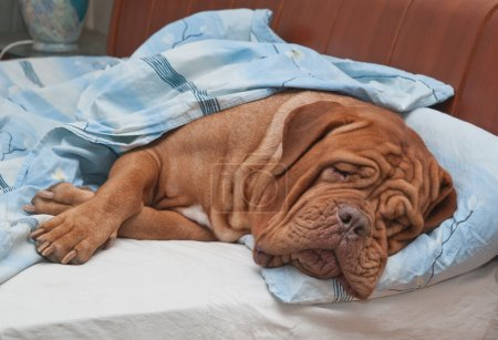 Dogue De Bordeaux Dog Sleeping Sweetly in Owner's Bed