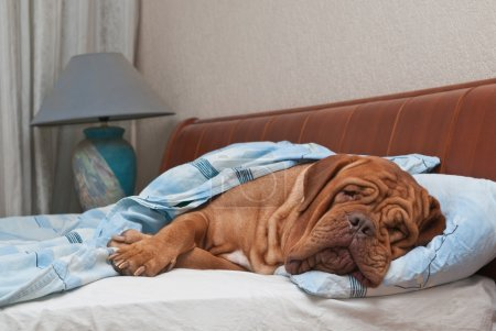 Photo for Lovely dog of Dogue De Bordeaux breed is Sleeping Sweetly in Owner's Bed - Royalty Free Image