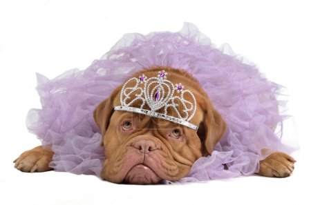 Royal dog with crown