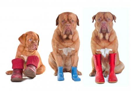 Photo pour Différents âges de dogue de bordeaux (dogue français) chiens avec divers bottes (chaussures, bottes, bottes wellington) pour toutes les saisons, isolés sur fond blanc - image libre de droit