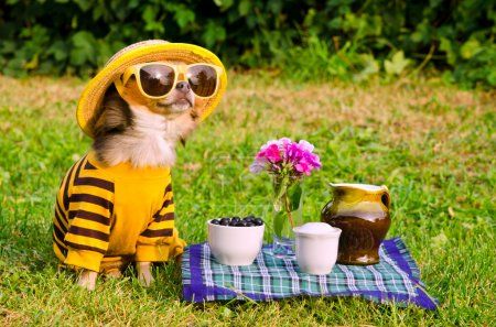 Photo for Chihuahua picnic in summer garden - Royalty Free Image