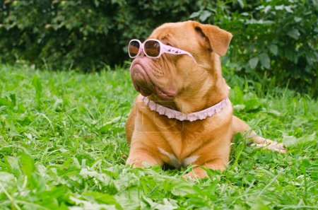 Photo for Serious dog of Dogue De Bordeaux breed wearing pink glasses and collar, lying in the summer garden - Royalty Free Image
