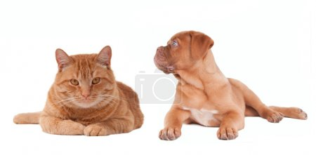 Puppy and kitten of the same colour lying next to each other