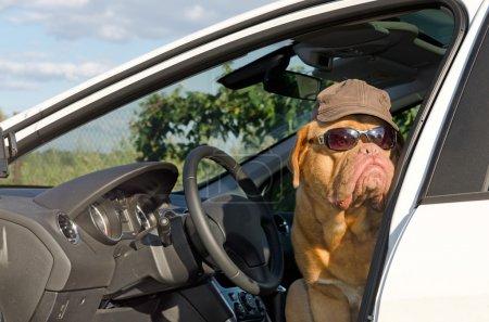 Photo pour Conducteur de chien avec des lunettes de soleil et chapeau - image libre de droit