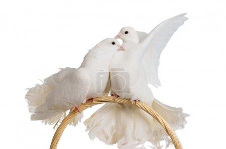 Photo pour Deux colombes blanches s'embrasser et huggung isolé - image libre de droit