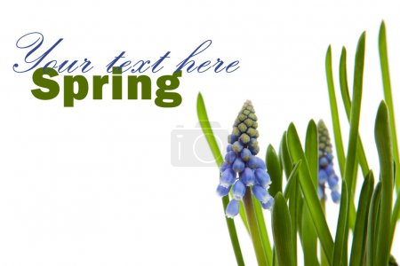 Photo for Muscari botryoides flowers also known as blue grape hyacinth with text space over white background - Royalty Free Image