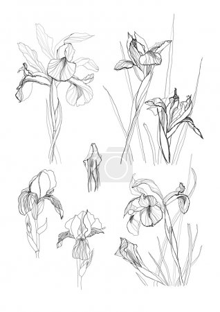 Illustration for Iris flowers drawing on white background set - Royalty Free Image