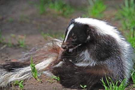 Striped Skunk in marsh