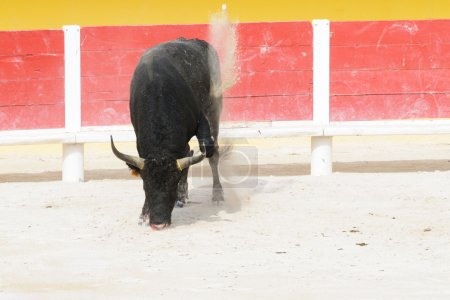 Black bull with bleeding muzzle pawing up dust in a bullring