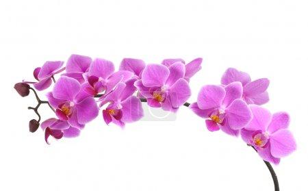 Photo pour Orchidée rose - image libre de droit