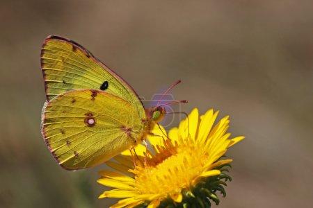 Photo pour Papillon jaune de soufre sur une fleur sauvage - image libre de droit