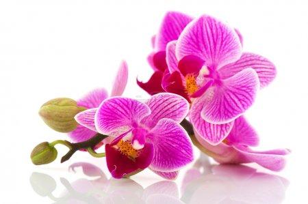 Foto de Orquídea rosa tropical aislada sobre fondo blanco - Imagen libre de derechos
