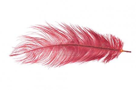 Photo pour La plume rouge sur fond blanc - image libre de droit
