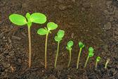 Folge von Impatiens Balsamina Blume wächst, Evolution-Konzept