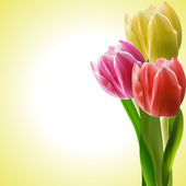 Tulips in yellow pink and red on a yellow background