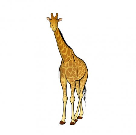 Giraffe isolated on the wite...