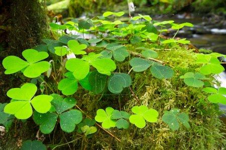 Photo pour Feuilles de trèfle vert irlandais dans la forêt - image libre de droit