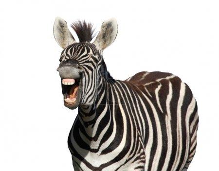 Photo pour Zèbre avec un regard de rire isolé sur fond blanc - image libre de droit