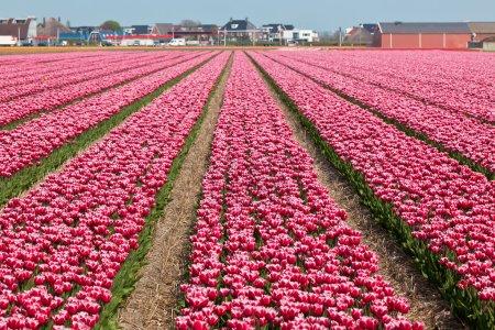 Photo pour Champ de tulipes vineuses à Holland. Plan horizontal - image libre de droit