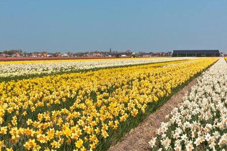 Photo pour Champ de narcisses multicolores en Hollande. tir horizontal - image libre de droit