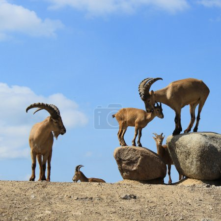 Photo for Playing goats on stones - Royalty Free Image