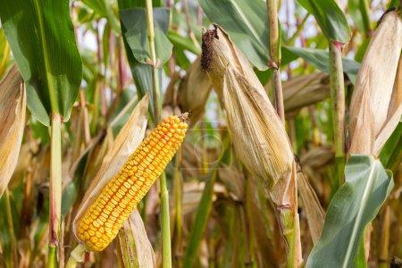 mazorca de maíz en el maizal