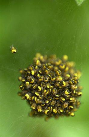 Photo pour Un paquet de masse d'araignées jaunes de jardin de bébé - image libre de droit