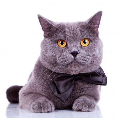 English cat with big orange eyes, wearing a bow ti...