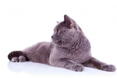 Side view of an big english cat