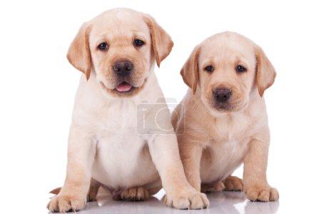 Little labrador retriever puppies panting