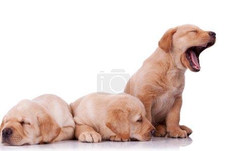 Photo pour Trois adorables petits chiots labrador retriever, deux dormir et l'autre aboyer sur fond de wite - image libre de droit