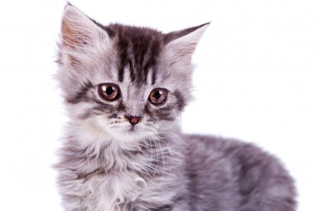 Cute baby silver tabby cat