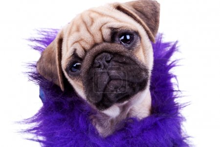 Face of a cute pug puppy dog