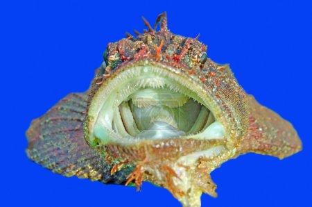 Gobius fish
