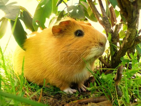 Photo for Nice little guniea pig in wild nature - Royalty Free Image