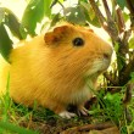 Nice little guniea pig in wild nature...