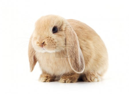 Rabbit isolated on a white background...