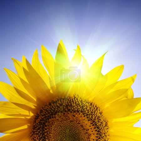 Photo for Close-up of sunflower over blue sky - Royalty Free Image