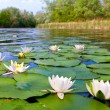 Water lilys on pond...