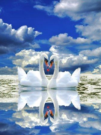 Photo pour Deux cygnes amoureux - image libre de droit