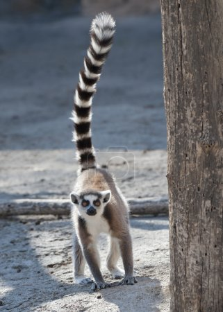 Photo for Ring Tailed Lemur on the ground with tail erect - Royalty Free Image