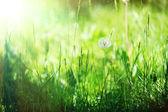 Pampeliška na trávě