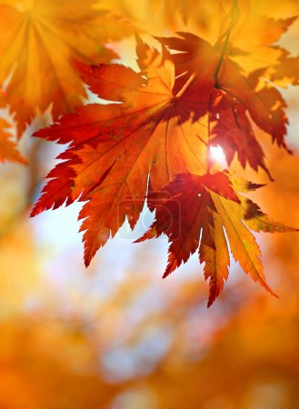 Photo for Autumnal maple leaves in blurred background, sun and red leaf - Royalty Free Image