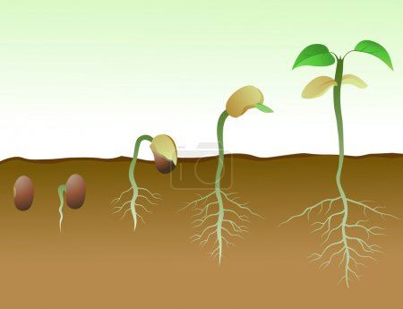 Bean Seed Germination In Soil