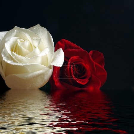 Photo for Red and white roses with water drop reflecting in water - Royalty Free Image