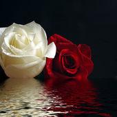Růže červené a bílé