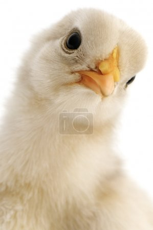 Chicken close-up