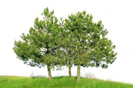 Photo pour Pin sylvestre (Pinus sylvestris) isolé sur fond blanc - image libre de droit