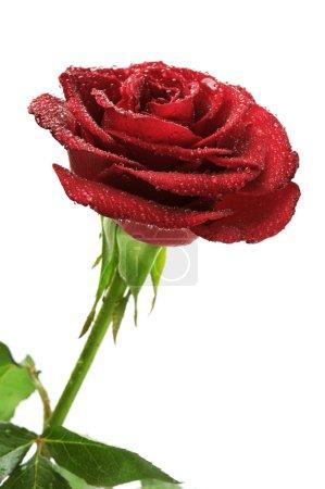 Photo pour Rose rouge avec gouttes de pluie isolées sur fond blanc . - image libre de droit