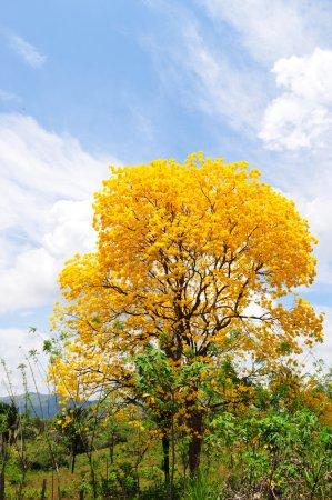 Foto de Guayacan hermoso árbol lleno de flores contra un cielo azul - Imagen libre de derechos